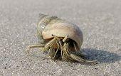 Traveling Hermit Crab