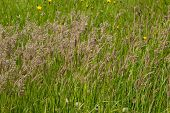 Meadow Grass