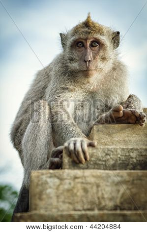 Portrait Of The Monkey In The Uluwatu poster