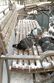 Ruffled up pigeons on the bench in winter
