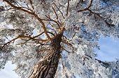 Top Of Winter Pine Tree