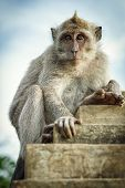 stock photo of monkeys  - Portrait of the monkey in the temple Uluwatu - JPG
