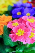 Spring flowers, garden, colorful primula flowers