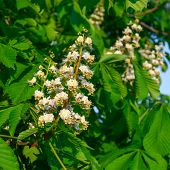 Flowering Branches Of Chestnut