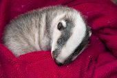 Sleeping badger baby