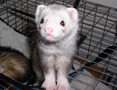 Weasel In Cage