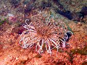 Anemones of the Philippine sea