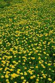 Floral Background Dandelion