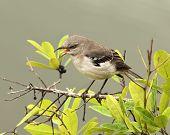 Mockingbird Screech