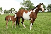 stock photo of fillies  - Nice Paint horse mare with filly i summer