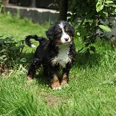Bernese Mountain Dog Puppy In The Garden