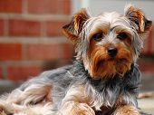 stock photo of yorkie  - A Yorkshire Terrier - JPG