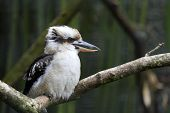 stock photo of jackass  - Details of a laughing kookaburra in captivity.
