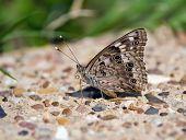 Hackberry Emperor butterfly