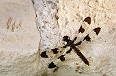 Common Whitetail dragonfly (Plathemis lydia)