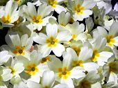 stock photo of primrose  - One Primrose trying to be noticeable among bunch of many other Primrose - JPG