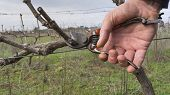 Cutting Branches In Vineyard