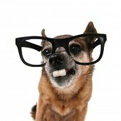 a chihuahua with glasses on and buck teeth