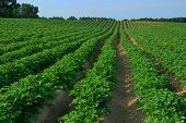 foto of potato-field  - Rows of potato plants in field with sky in distance - JPG