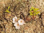 Detail Macro Photo Of Japanese Cherry Blossom Flowers