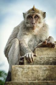 stock photo of jungle animal  - Portrait of the monkey in the temple Uluwatu - JPG