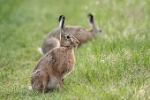 Hares in the wild.