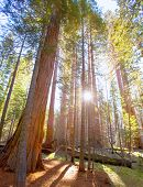 Sequoias in Mariposa grove at Yosemite National Park California
