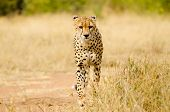 picture of cheetah  - Cheetah Walking in a South Africa Savannah - JPG