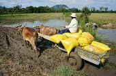 Transportion Paddy In Rice Sack By Buffalo Cart
