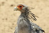 Secretary Bird - Wildlife Background from Africa - Head Dress of a Warrior