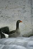 Graylag Goose From Side