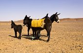 Donkeys in the desert
