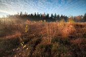 stock photo of ling  - morning sunlight over marsh with orange autumn birch trees Friesland Netherlands - JPG