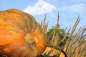 Pumpkin Patch Close Up