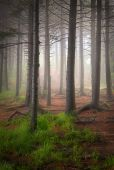 Tall Balsam Trees In Creepy Forest Fog
