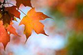 Autumn maple leaves with clear sky background