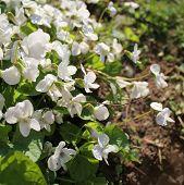 white viola odorata