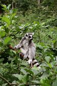 Ring-tailed lemur.