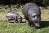 Pygmy hippopotamus mother with calf