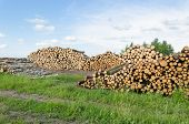 Firewood Fuel Birch And Pine Logs Stack Forest