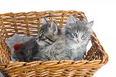 two small kittens in basket isolated on white background