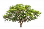 image of northeast  - Rain tree  - JPG