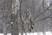 Great Grey Owl in a snow storm