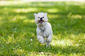 image of irresistible  - cute small bishon running in the park - JPG