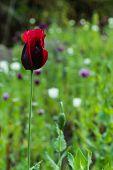 picture of opium  - Opium poppy red flowers in field - JPG