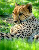 Very closeup of cheetah