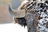 image of aurochs  - Large male bison in the winter season - JPG