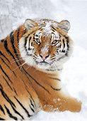 foto of tigress  - Siberian tiger in the wild on the snow - JPG