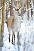 stock photo of cleaving  - Beautiful deer standing in snow in winter forest - JPG