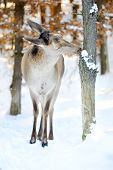 picture of cleaving  - Young deer standing in snow in winter forest - JPG